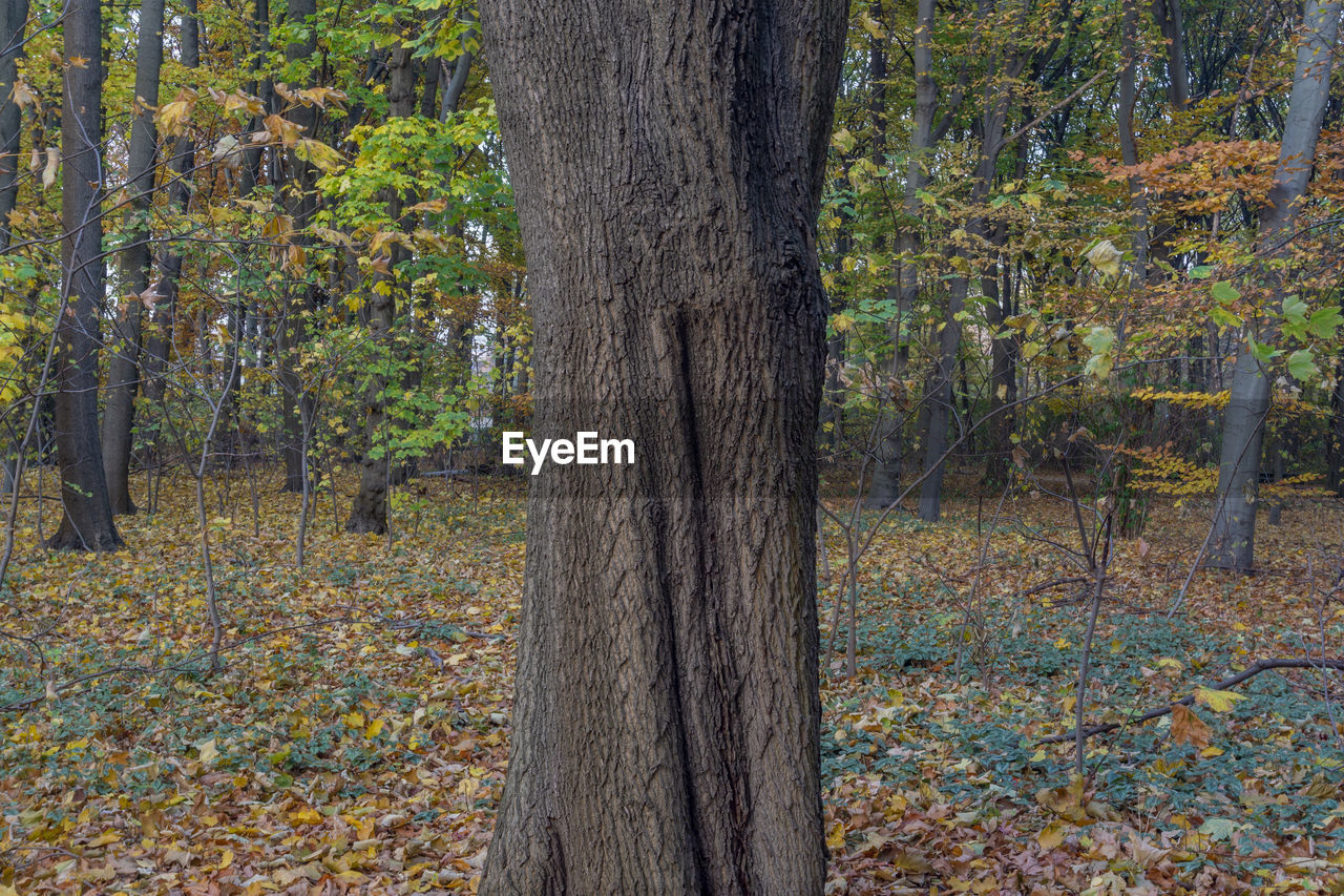 tree, tree trunk, trunk, plant, forest, land, autumn, nature, plant part, leaf, day, no people, tranquility, landscape, environment, scenics - nature, woodland, change, focus on foreground, growth, outdoors, pine woodland, coniferous tree