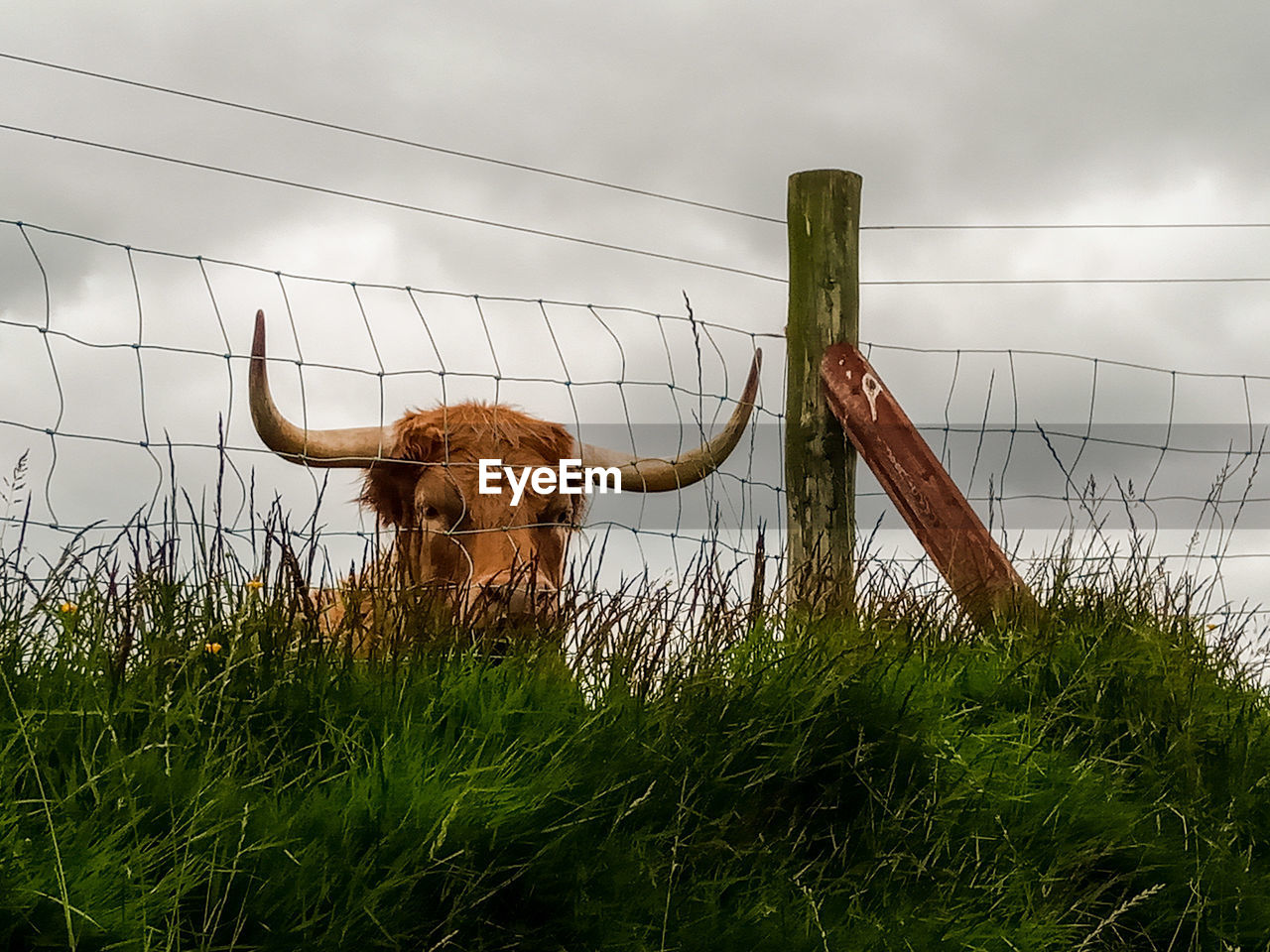 mammal, land, nature, field, domestic animals, animal themes, horned, sky, animal, livestock, grass, plant, pets, one animal, vertebrate, domestic, boundary, barrier, cattle, domestic cattle, no people, herbivorous, outdoors, animal head