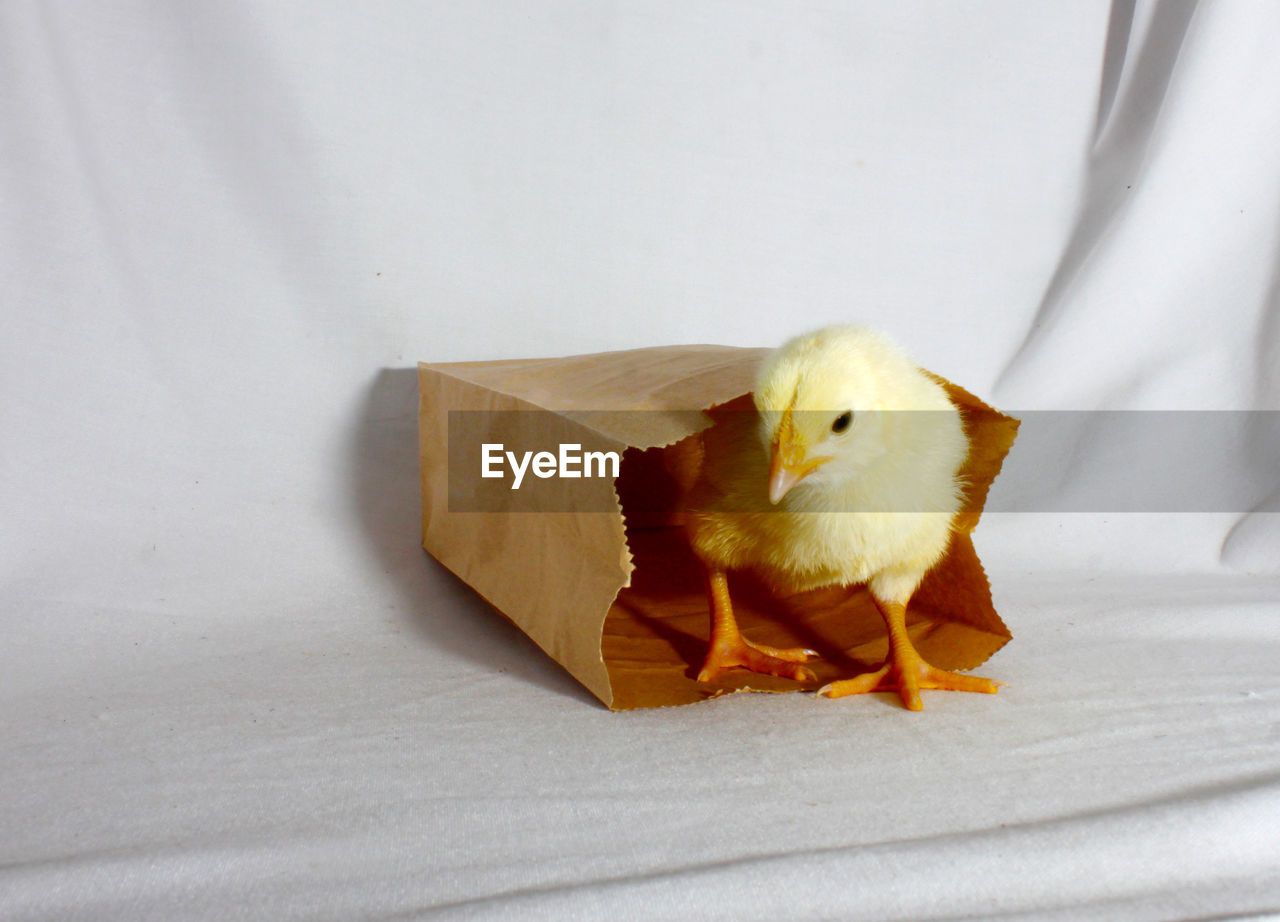 Yellow Baby Chicken In Paper Bag On White Fabric