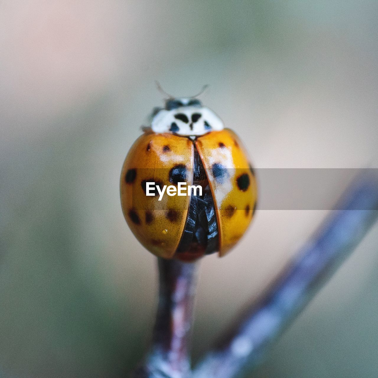 one animal, animal themes, close-up, ladybug, invertebrate, beetle, animal, insect, focus on foreground, animals in the wild, animal wildlife, spotted, nature, no people, plant, day, selective focus, flower, beauty in nature, plant stem, outdoors