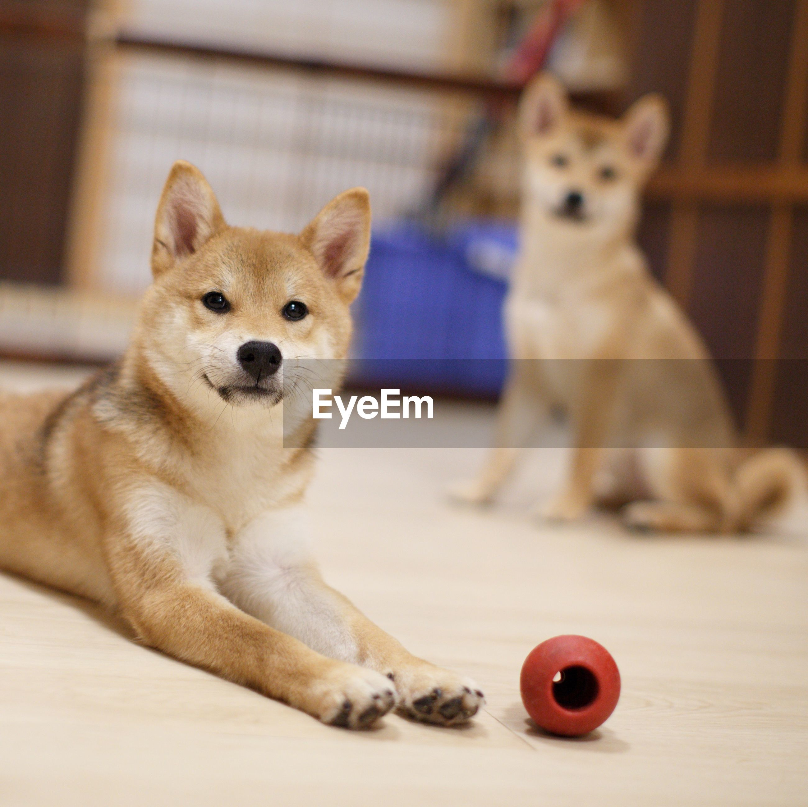 Two cute adorable shiba inus ready to play fetch the ball