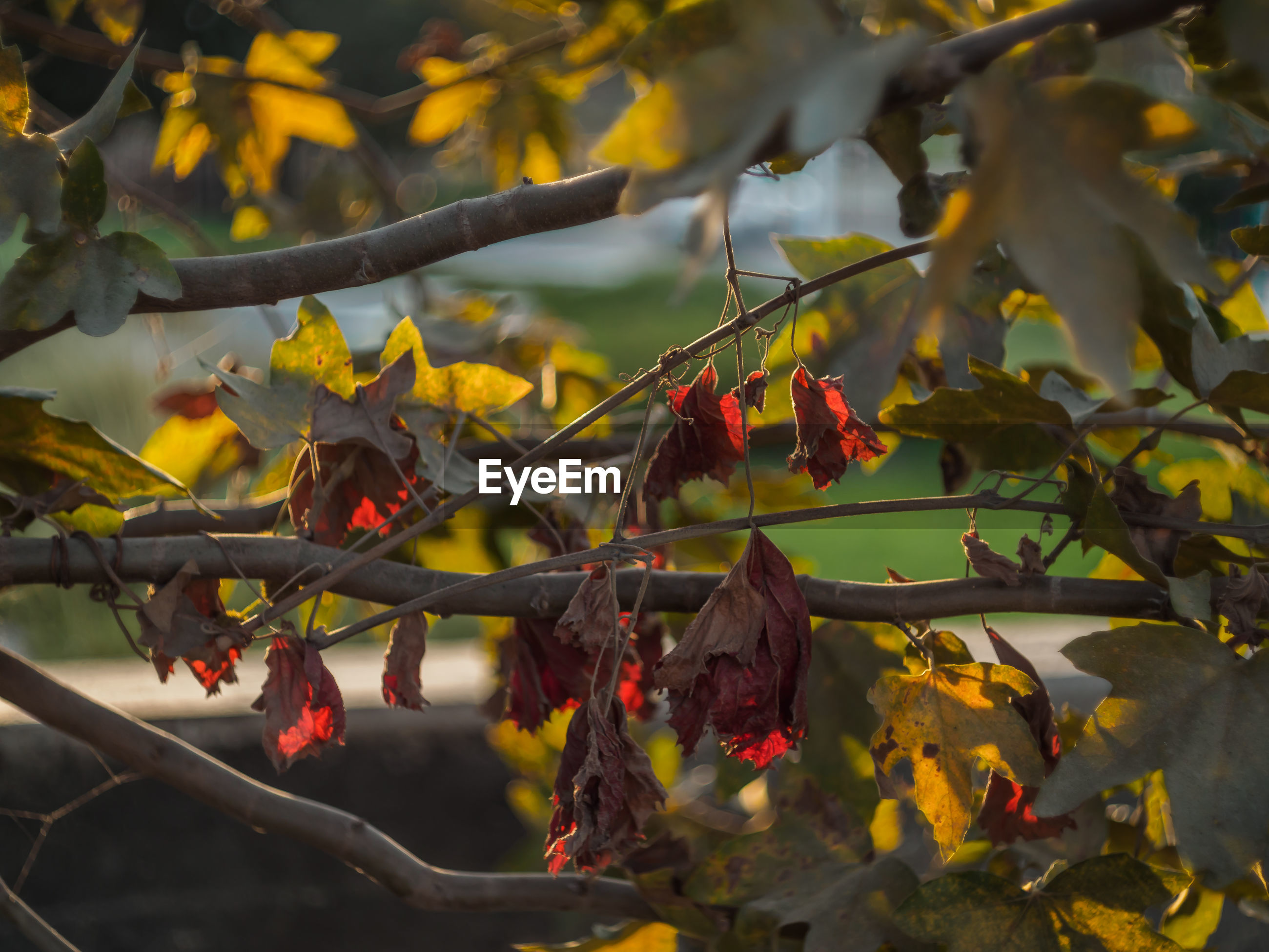 RED MAPLE LEAVES ON BRANCH