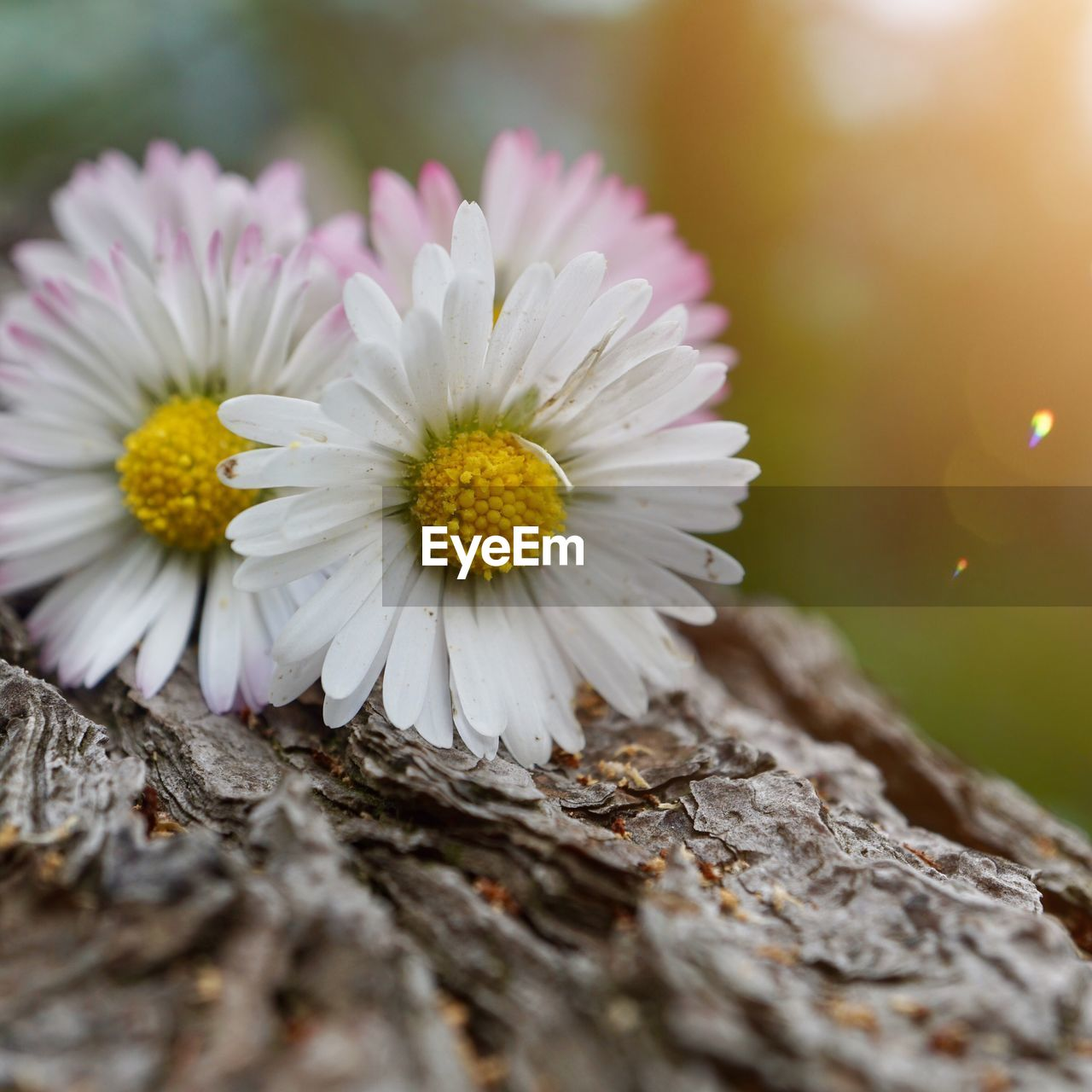 flower, flowering plant, plant, fragility, vulnerability, close-up, freshness, petal, beauty in nature, selective focus, flower head, inflorescence, nature, growth, yellow, no people, day, daisy, pollen, white color