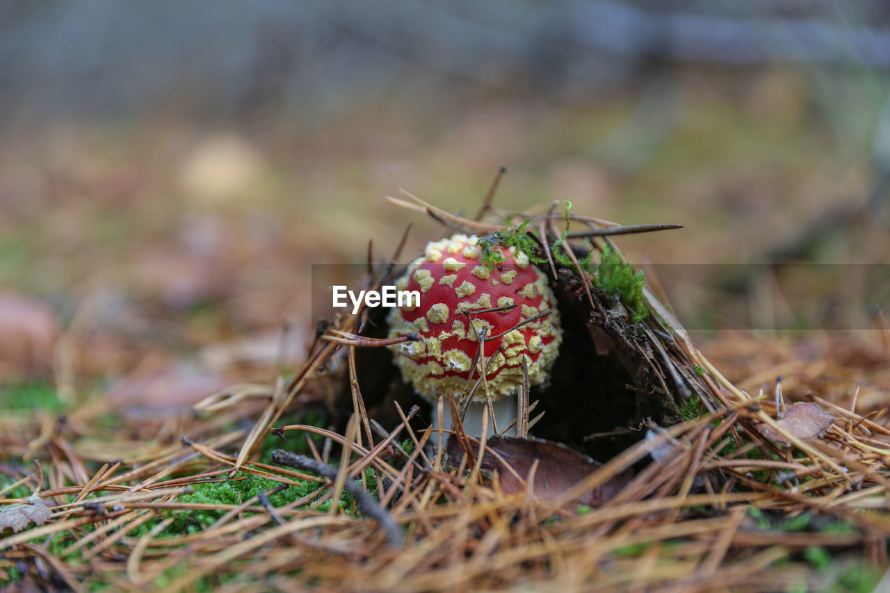 land, selective focus, field, plant, mushroom, day, no people, nature, food, fungus, close-up, growth, vegetable, toadstool, grass, fly agaric mushroom, beauty in nature, spotted, outdoors, animals in the wild, poisonous