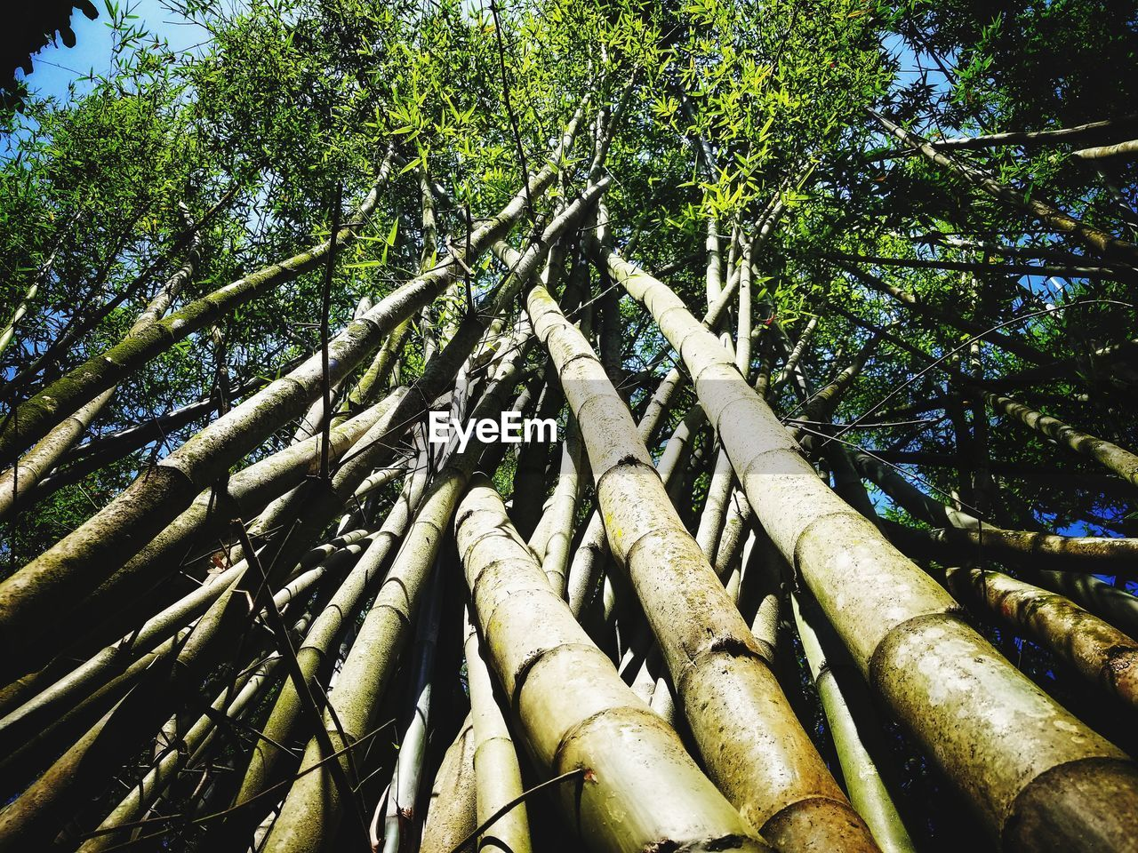 tree, bamboo - plant, bamboo grove, tree trunk, forest, bamboo, nature, day, outdoors, growth, low angle view, green color, beauty in nature, no people, branch, tranquility, bamboo - material, sky