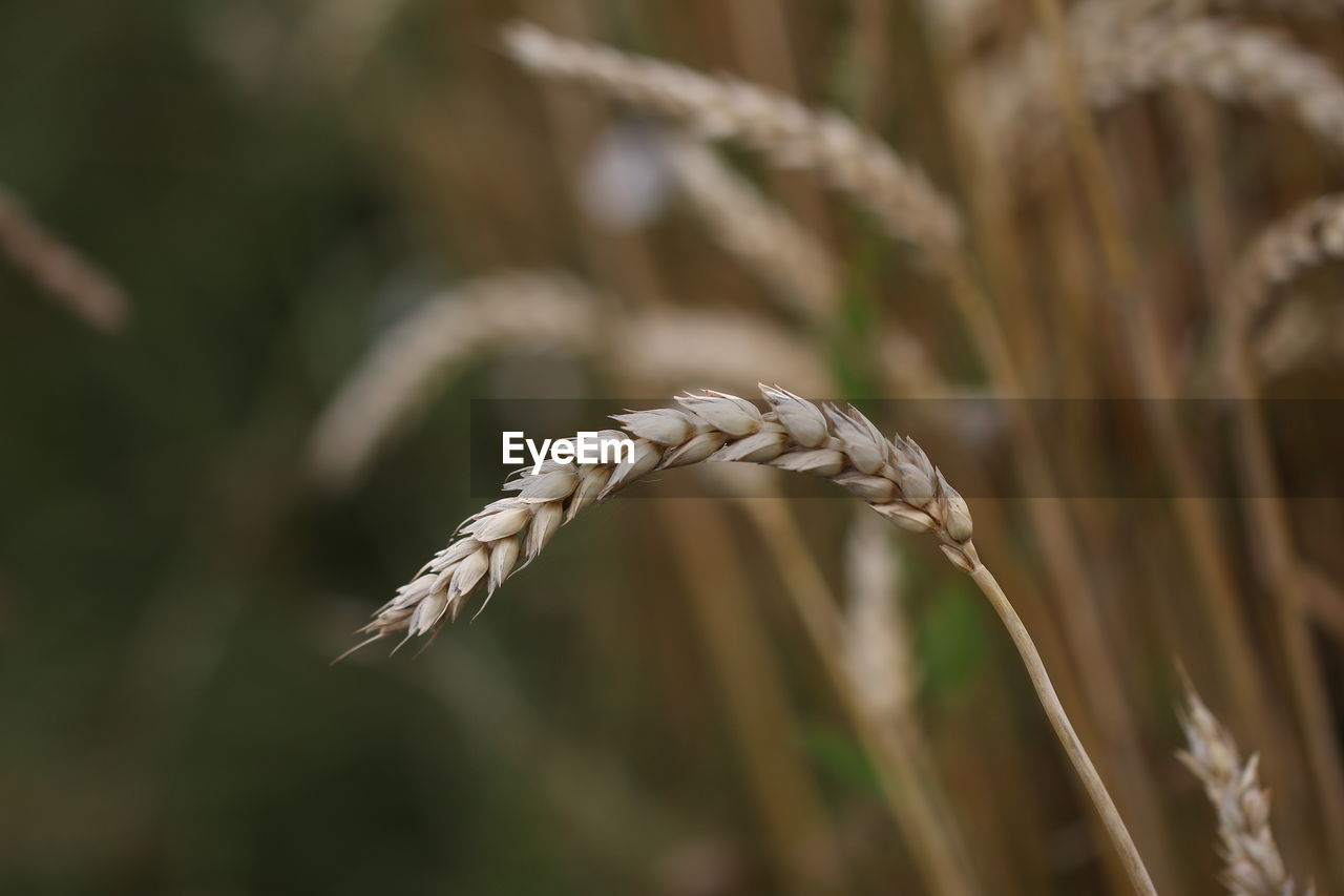 plant, growth, close-up, focus on foreground, cereal plant, agriculture, crop, beauty in nature, nature, no people, day, selective focus, wheat, field, land, farm, rural scene, tranquility, outdoors, landscape, plantation, stalk