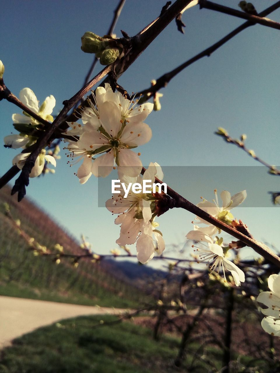 plant, flowering plant, fragility, flower, vulnerability, growth, tree, freshness, beauty in nature, branch, blossom, petal, nature, springtime, close-up, focus on foreground, twig, white color, sky, inflorescence, cherry blossom, flower head, pollen, no people, outdoors, cherry tree, spring