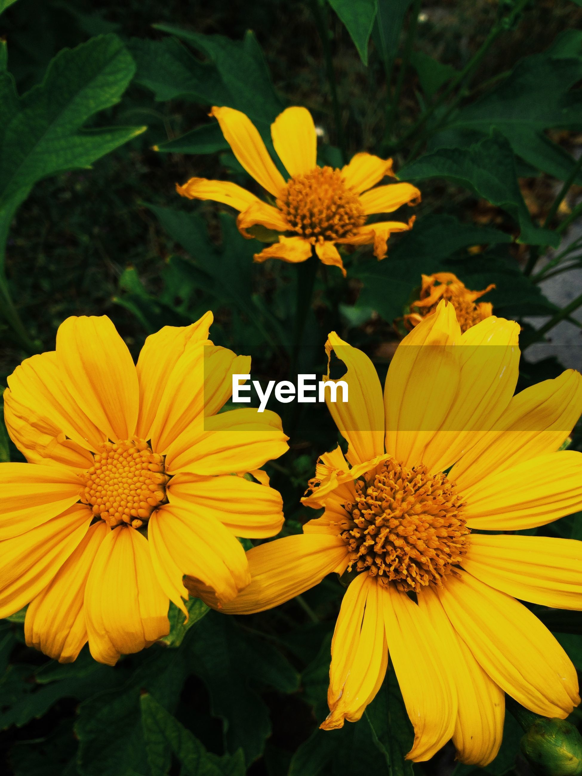 High angle view of yellow daisies blooming outdoors