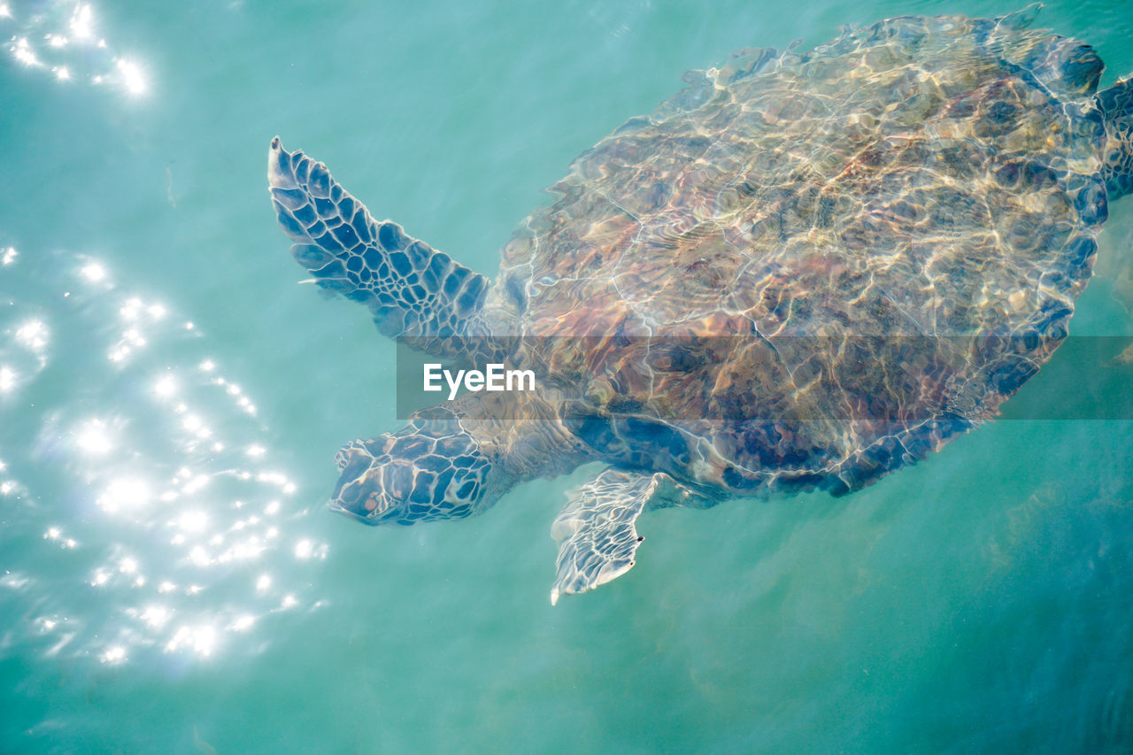 High angle view of sea turtle swimming in turquoise water
