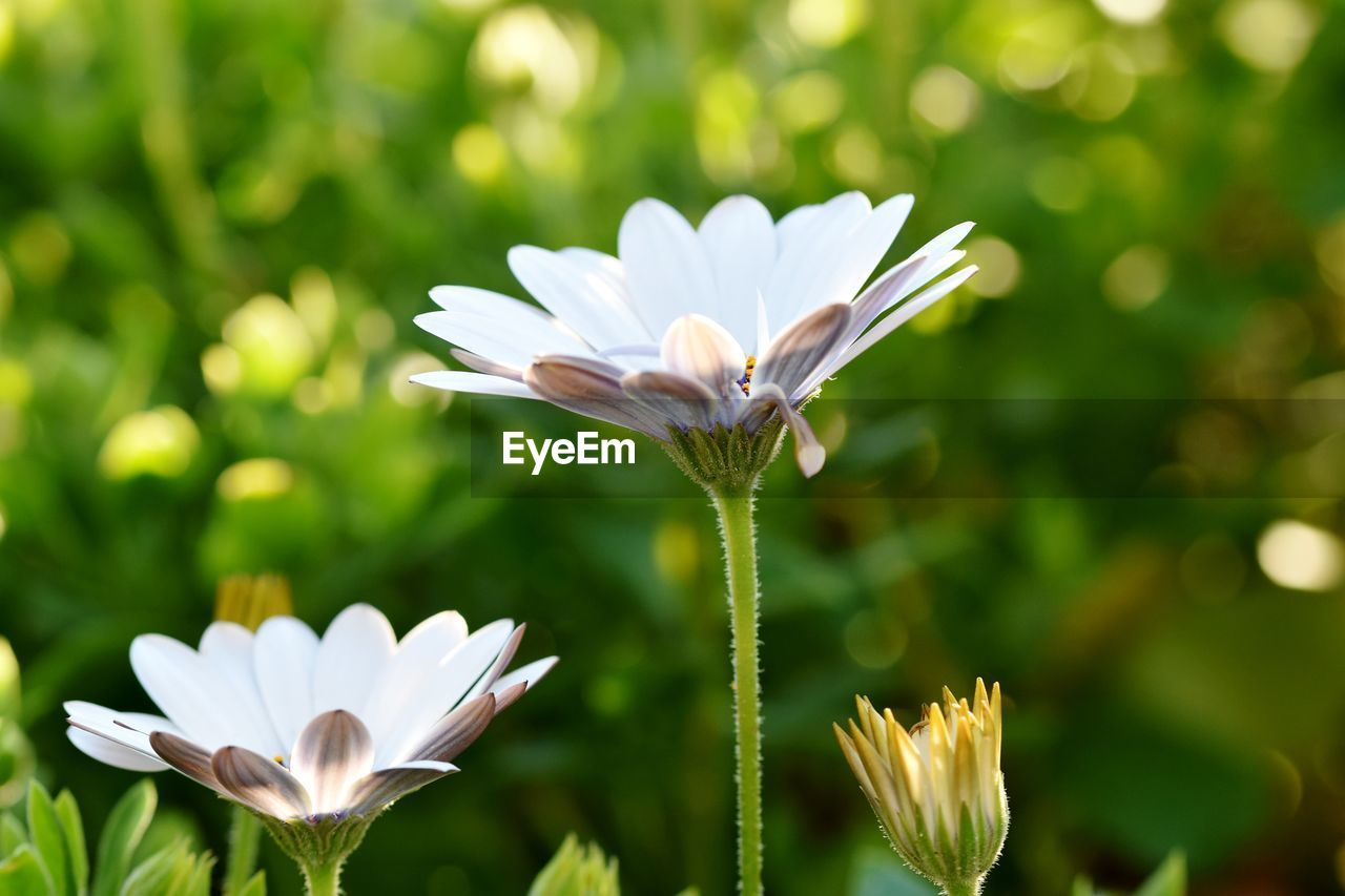 plant, vulnerability, beauty in nature, fragility, freshness, flowering plant, flower, growth, flower head, close-up, inflorescence, white color, petal, focus on foreground, nature, no people, day, green color, plant stem, pollen, purple