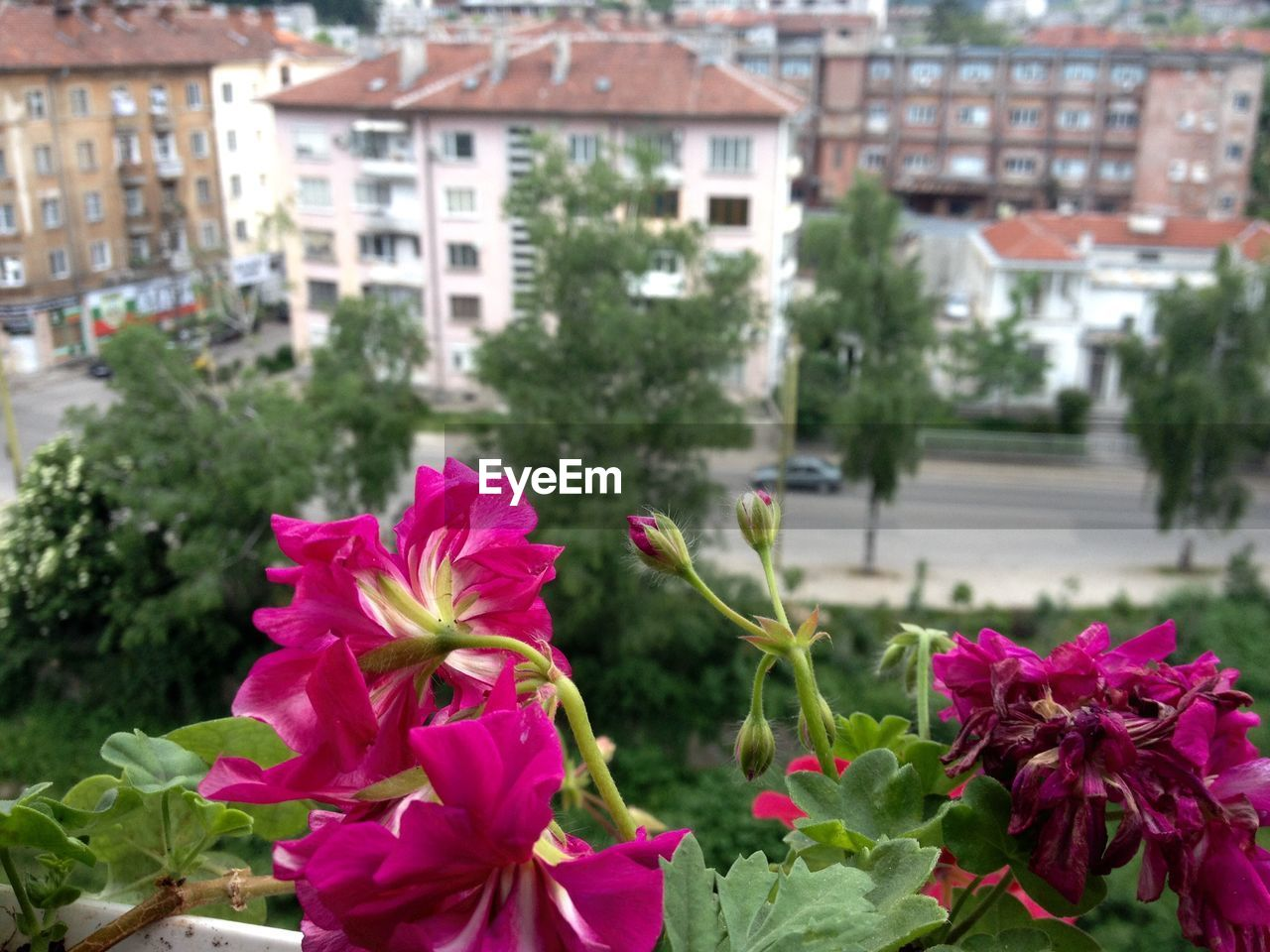 flower, focus on foreground, fragility, growth, plant, pink color, no people, freshness, day, nature, petal, building exterior, built structure, architecture, beauty in nature, outdoors, blooming, flower head, red, close-up, city
