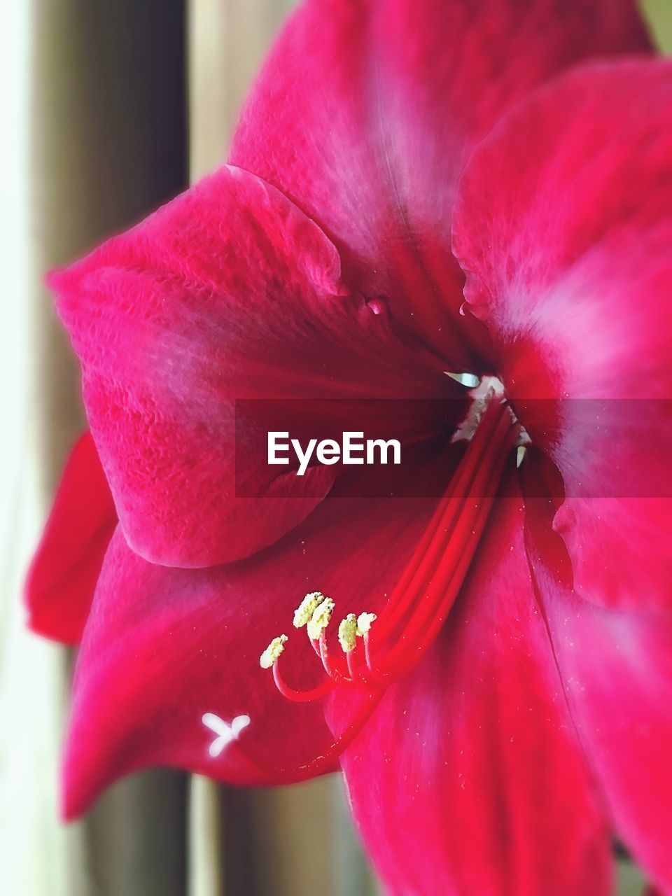 flower, petal, beauty in nature, red, fragility, nature, flower head, close-up, freshness, growth, no people, day, outdoors, stamen, hibiscus, plant, blooming, day lily
