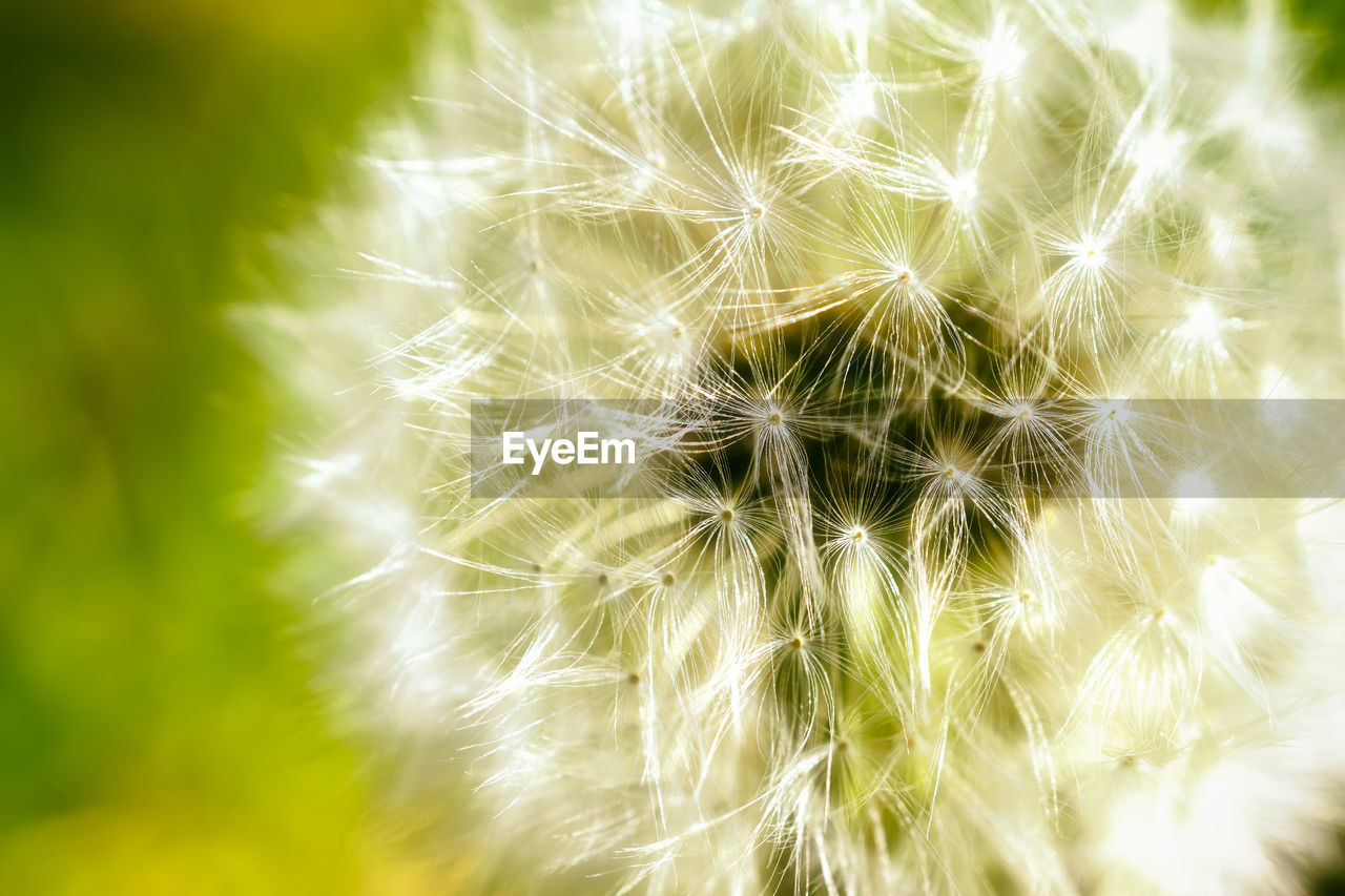 growth, nature, close-up, fragility, dandelion, plant, beauty in nature, softness, freshness, no people, flower, uncultivated, day, outdoors, flower head