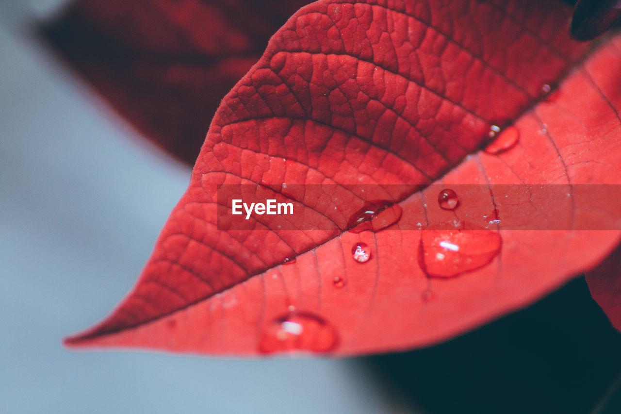 Close-up Of Red Wet Leaf