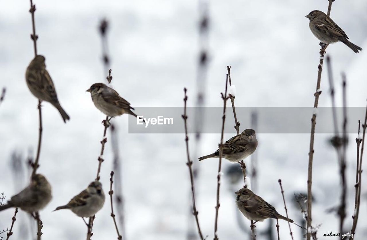 bird, animal wildlife, animals in the wild, animal themes, perching, focus on foreground, nature, day, outdoors, no people, sparrow, branch, winter, beauty in nature