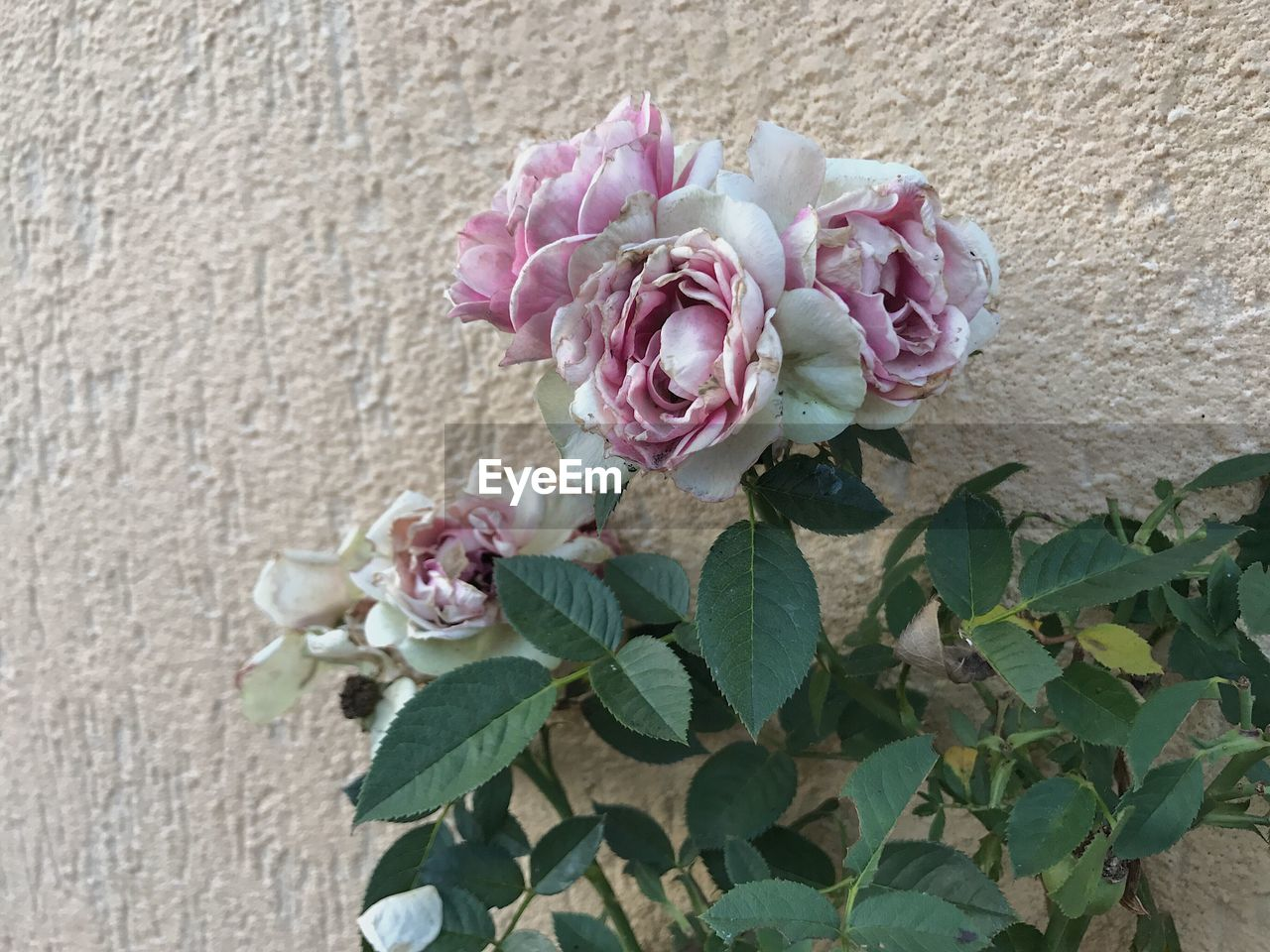 flower, fragility, pink color, petal, freshness, beauty in nature, plant, nature, no people, leaf, close-up, growth, outdoors, blooming, flower head, day, architecture