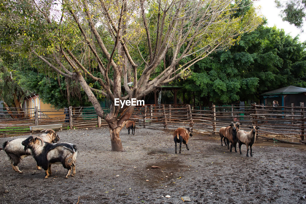 tree, mammal, animal themes, group of animals, animal, plant, domestic animals, animal wildlife, vertebrate, domestic, livestock, pets, nature, animals in the wild, land, no people, day, large group of animals, field, herbivorous, outdoors, herd