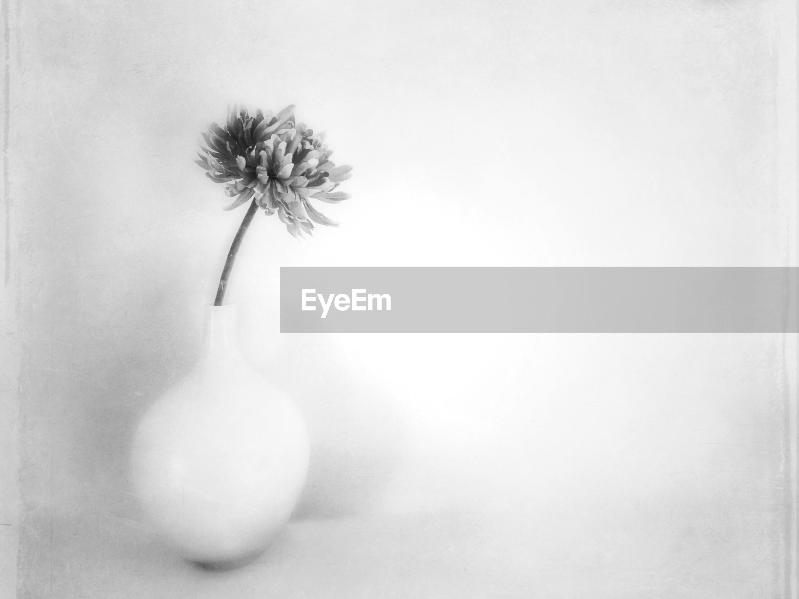 flower, fragility, studio shot, white background, close-up, stem, freshness, dandelion, copy space, flower head, growth, single flower, white color, nature, plant, indoors, beauty in nature, no people, softness, petal