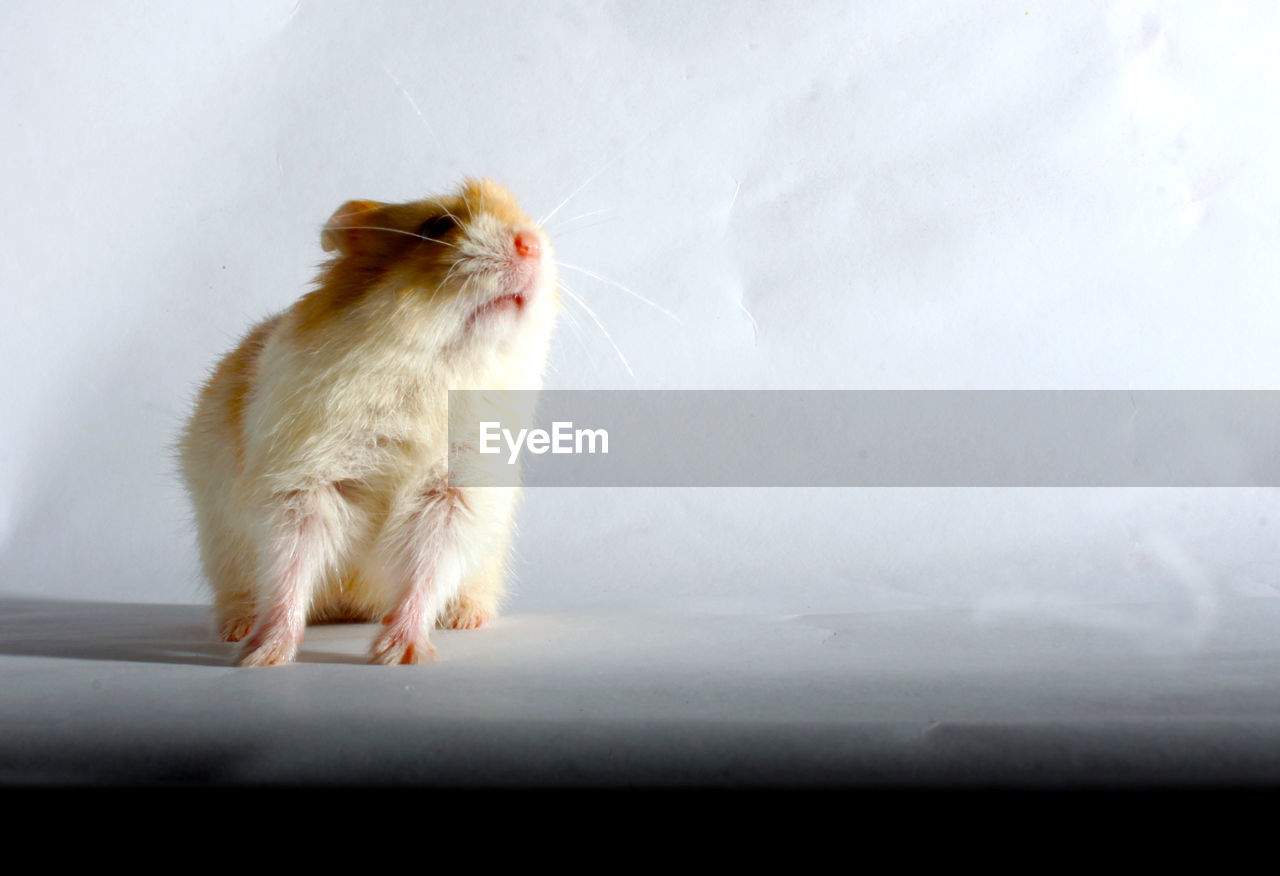 Close-up of hamster on table
