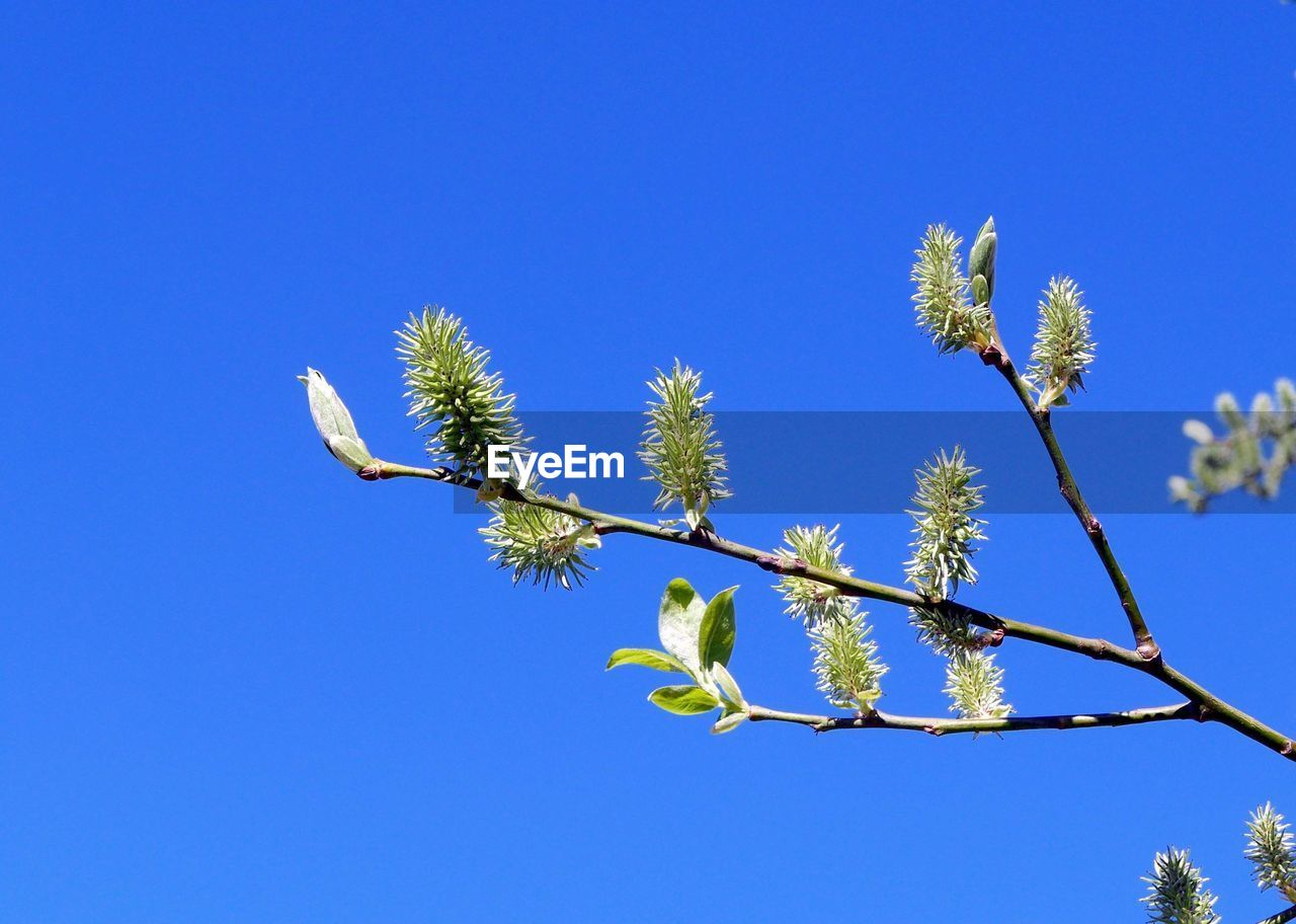 Low angle view of tree branches against clear blue sky