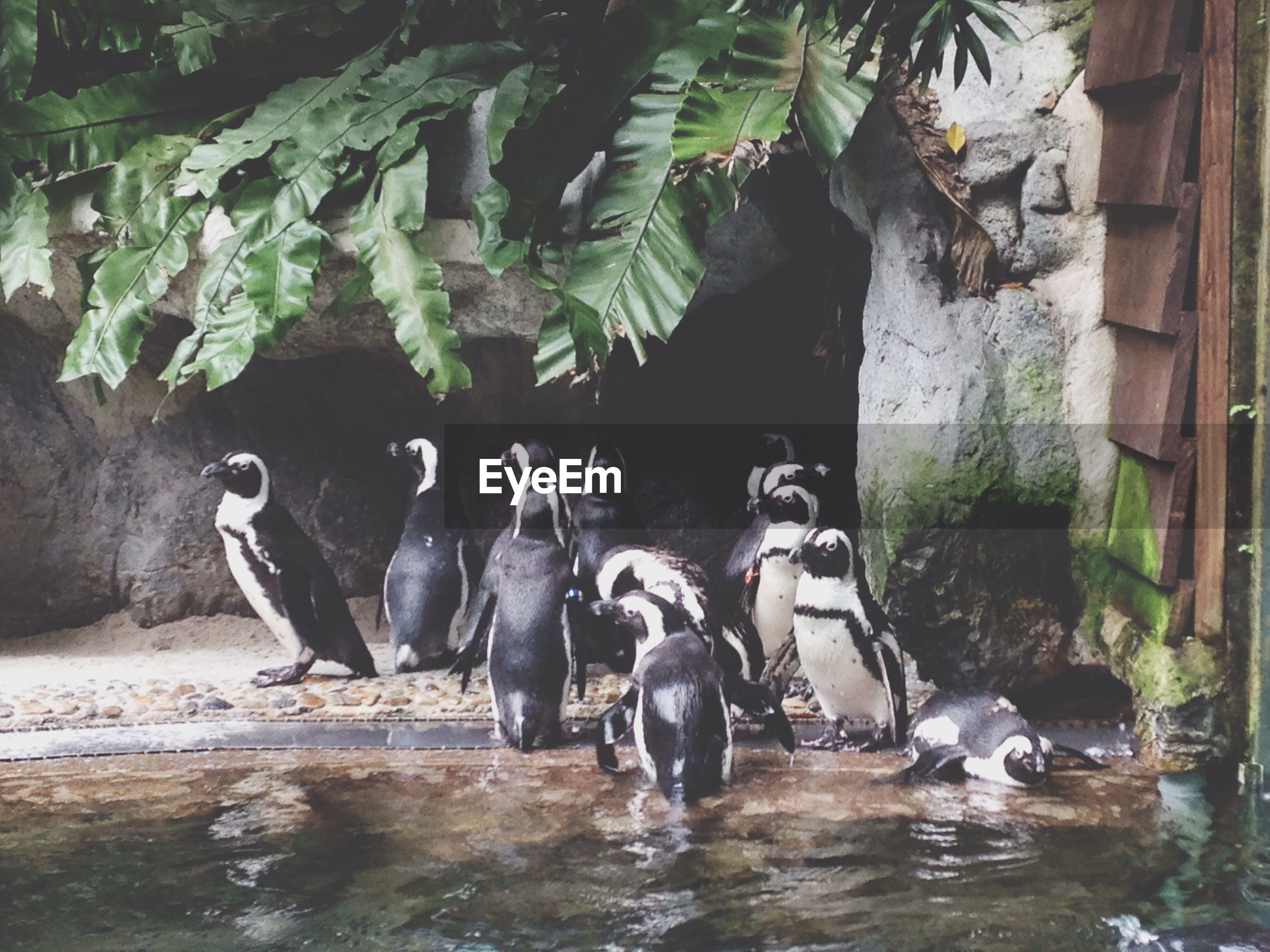 Penguins by water in zoo
