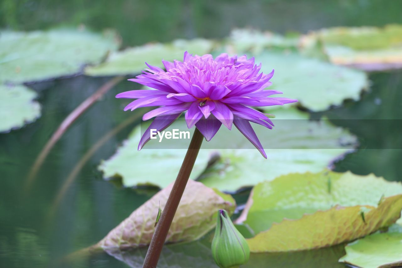 flower, flowering plant, plant, vulnerability, fragility, beauty in nature, freshness, petal, growth, close-up, water, inflorescence, flower head, lake, nature, focus on foreground, leaf, water lily, plant part, purple, no people, outdoors, lotus water lily