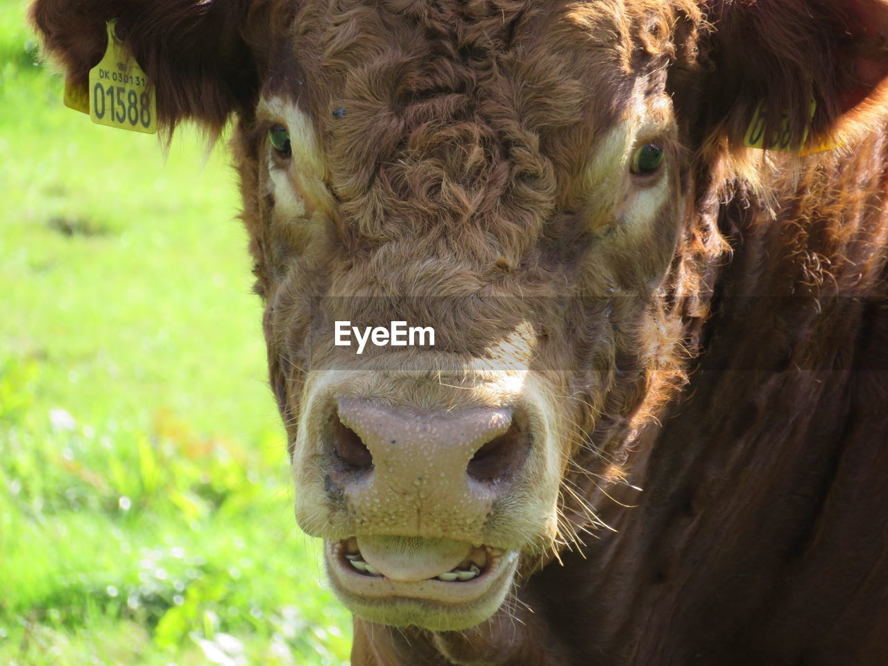 animal themes, mammal, domestic animals, one animal, livestock, outdoors, animal head, day, close-up, cow, no people, portrait, looking at camera, nature, domesticated animal tag, grass