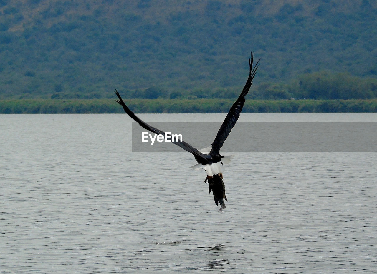 animal, animal wildlife, water, vertebrate, one animal, animal themes, animals in the wild, waterfront, flying, bird, spread wings, lake, beauty in nature, day, nature, no people, non-urban scene, mid-air, tranquility, outdoors, eagle