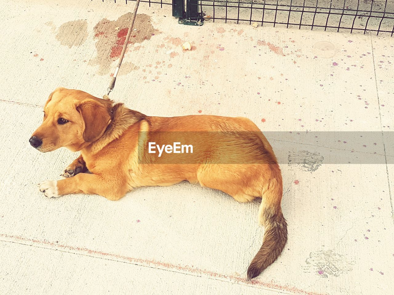 dog, pets, one animal, lying down, mammal, domestic animals, no people, animal themes, day, outdoors, beagle