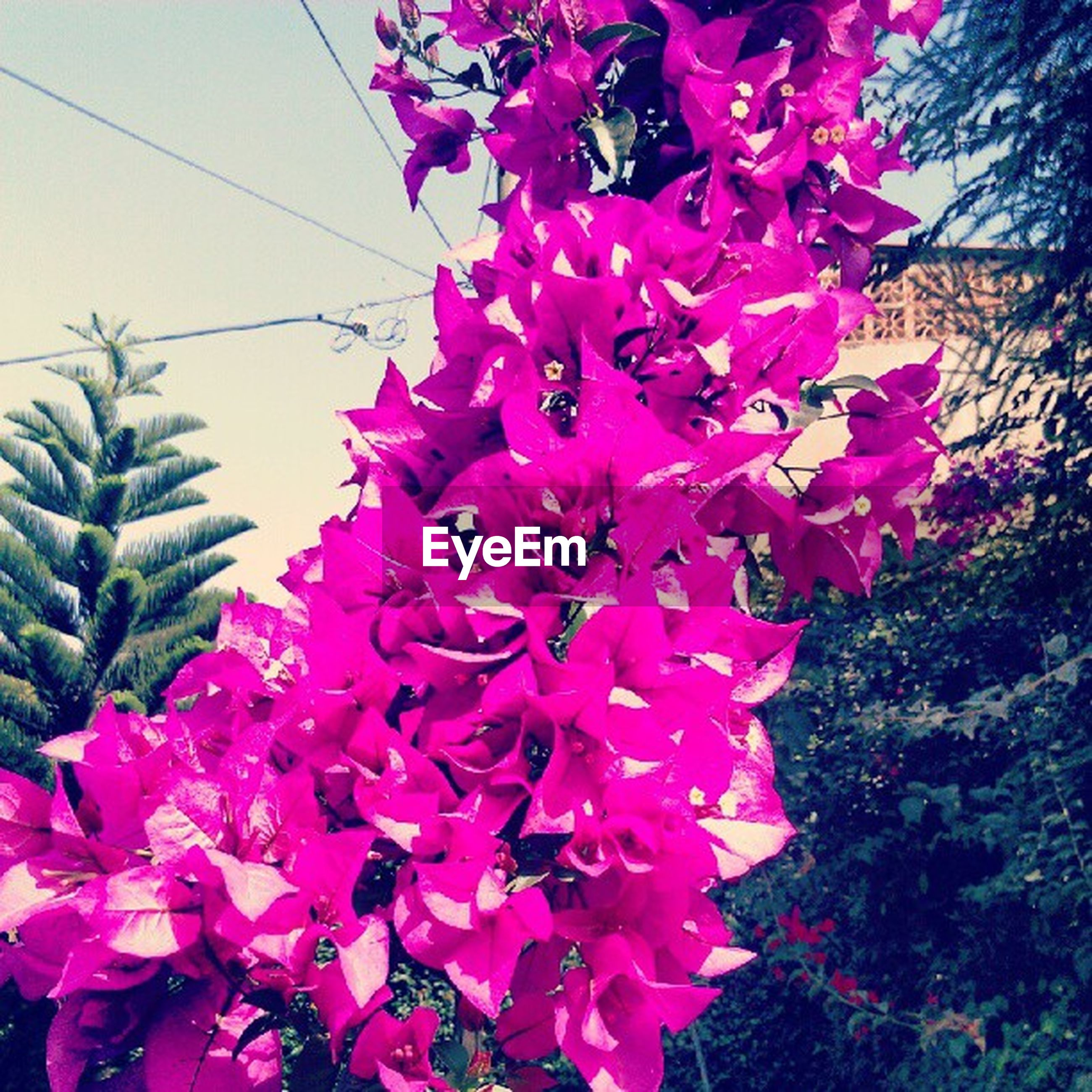 flower, freshness, pink color, fragility, petal, growth, beauty in nature, nature, blooming, flower head, in bloom, close-up, blossom, plant, pink, outdoors, low angle view, day, tree, springtime