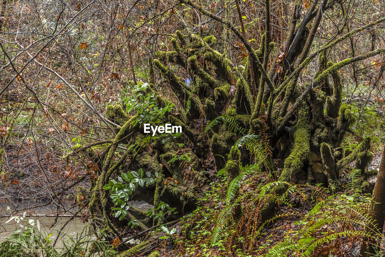 plant, tree, forest, growth, land, beauty in nature, tranquility, nature, no people, day, green color, branch, moss, trunk, tree trunk, outdoors, non-urban scene, tranquil scene, scenics - nature, woodland, rainforest