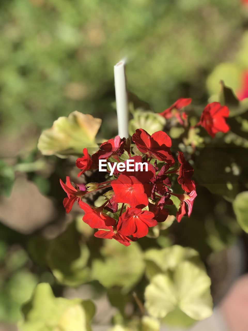flower, flowering plant, beauty in nature, plant, fragility, vulnerability, freshness, petal, red, close-up, growth, focus on foreground, nature, flower head, inflorescence, day, no people, green color, high angle view, outdoors