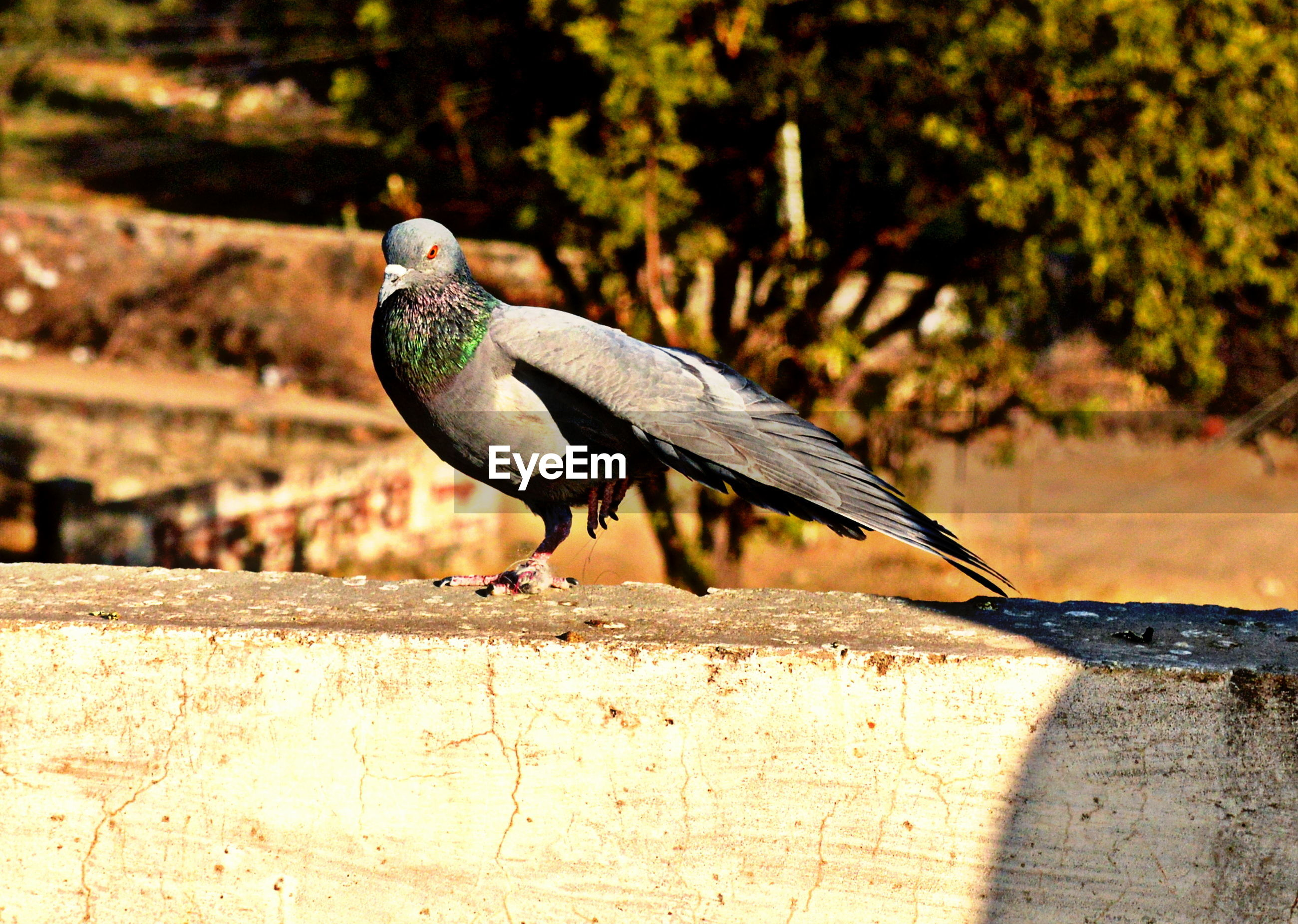 Pigeon perching on retaining wall against trees