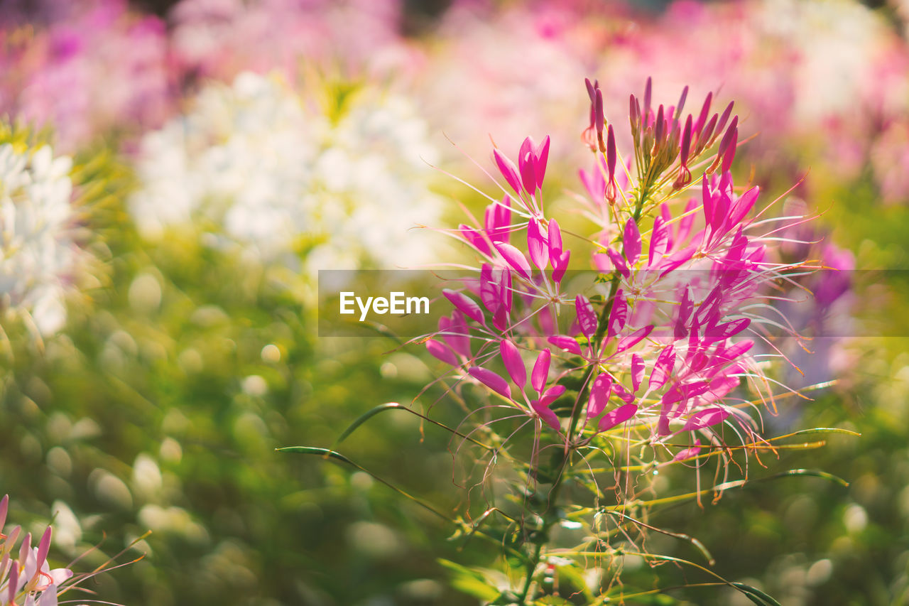 flower, growth, nature, pink color, plant, beauty in nature, fragility, freshness, petal, no people, outdoors, day, purple, blooming, focus on foreground, flower head, close-up