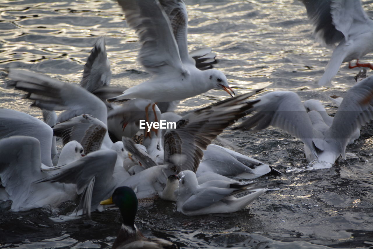 bird, animal themes, water, animals in the wild, nature, lake, large group of animals, flying, animal wildlife, spread wings, motion, seagull, outdoors, swan, day, no people