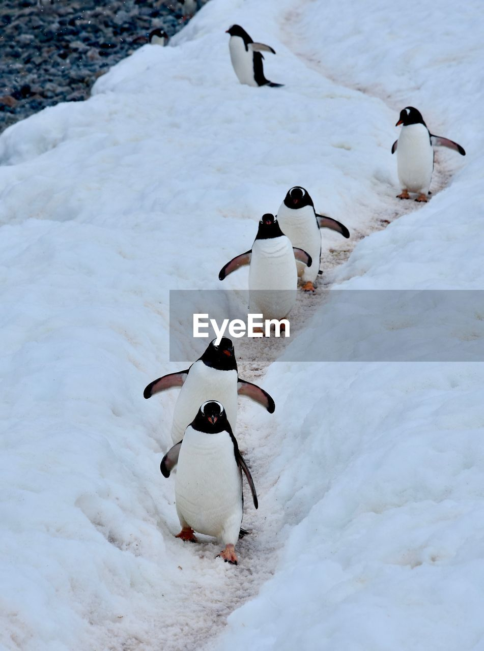 animals in the wild, snow, cold temperature, bird, white color, winter, animal wildlife, animal themes, nature, penguin, lake, no people, day, beauty in nature, togetherness, outdoors, water, swimming, swan