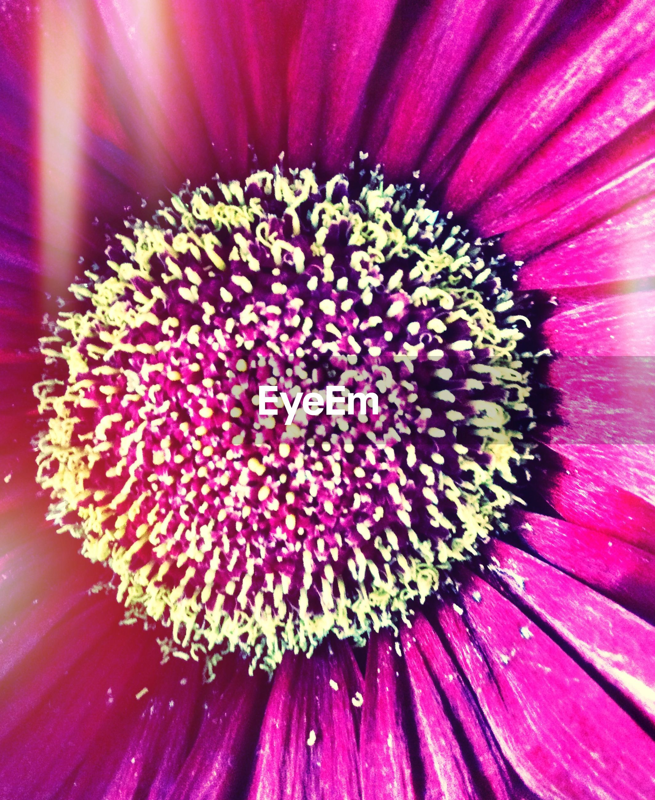 flower, petal, flower head, freshness, fragility, beauty in nature, full frame, backgrounds, pollen, close-up, growth, single flower, nature, pink color, extreme close-up, macro, stamen, in bloom, blooming, natural pattern