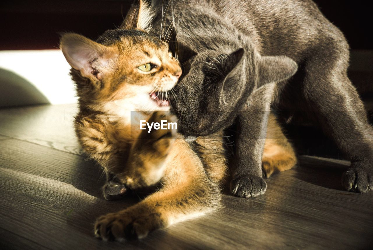 animal themes, mammal, two animals, pets, domestic cat, indoors, domestic animals, sitting, young animal, togetherness, no people, feline, day, close-up