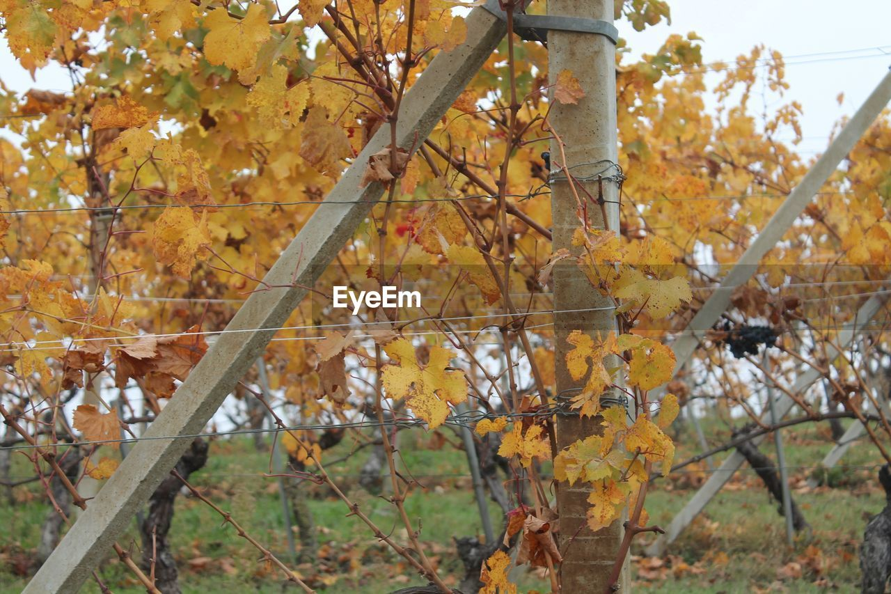 autumn, leaf, change, tree, nature, outdoors, growth, day, no people, branch, beauty in nature, close-up