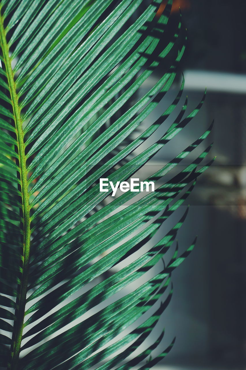 green color, leaf, plant part, close-up, growth, no people, nature, beauty in nature, plant, focus on foreground, pattern, day, natural pattern, selective focus, indoors, freshness, tree, botany, sunlight, palm leaf, softness