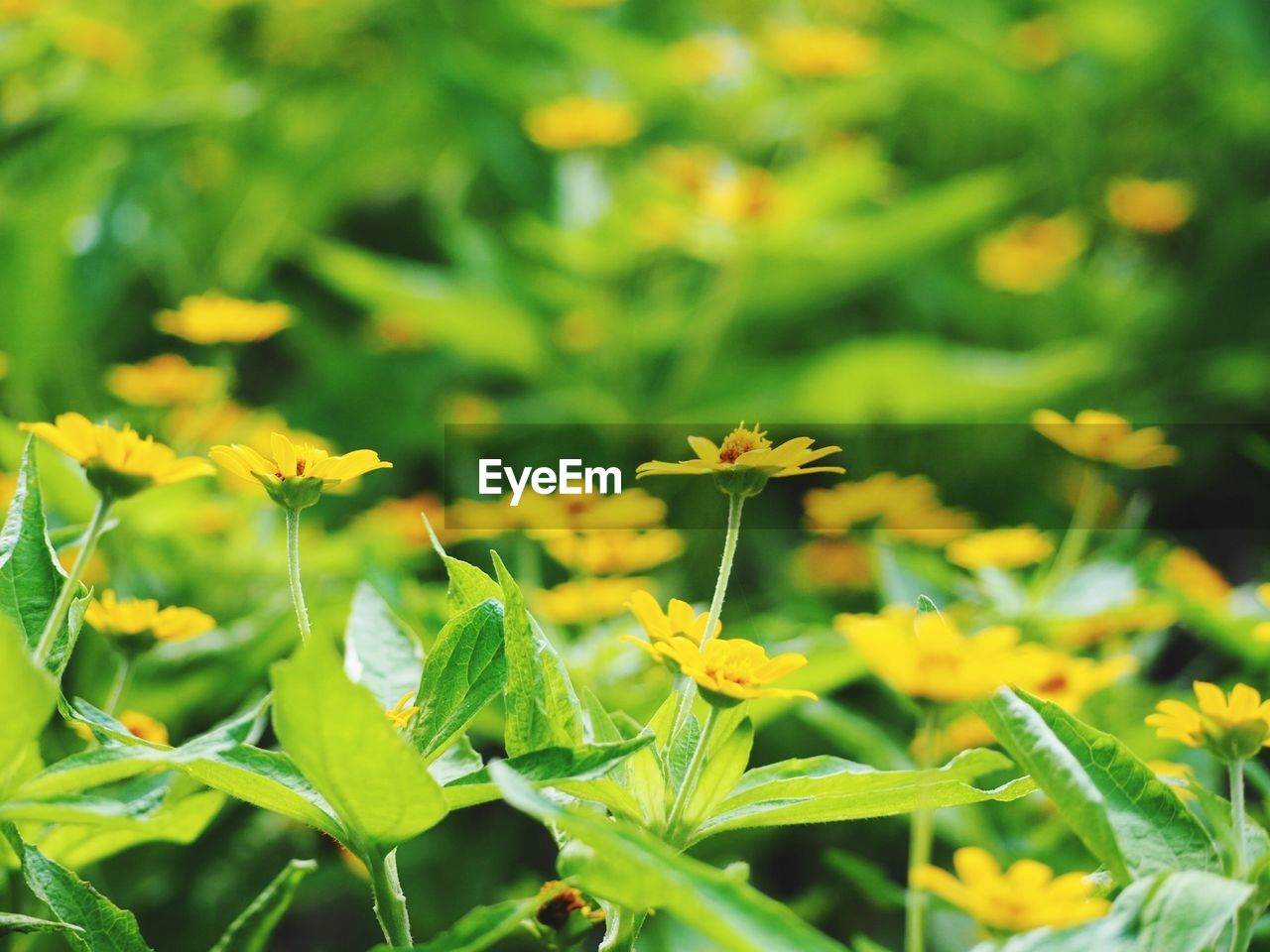 growth, plant, beauty in nature, green color, freshness, flower, yellow, flowering plant, fragility, nature, vulnerability, day, close-up, plant part, leaf, no people, field, selective focus, focus on foreground, land, outdoors, flower head, flowerbed