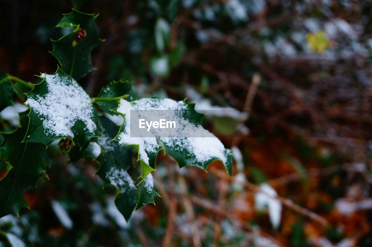 CLOSE-UP OF LEAVES ON SNOW COVERED BRANCH