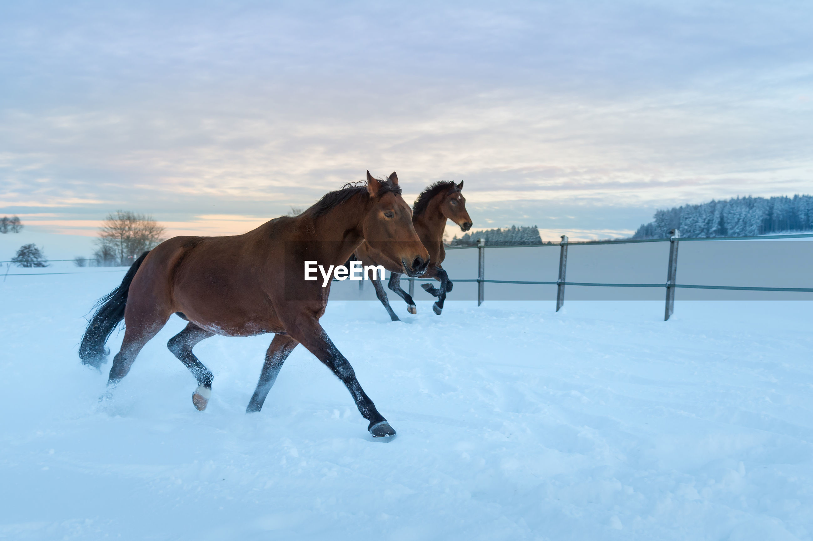 Two horses running fast through the snow at sunset