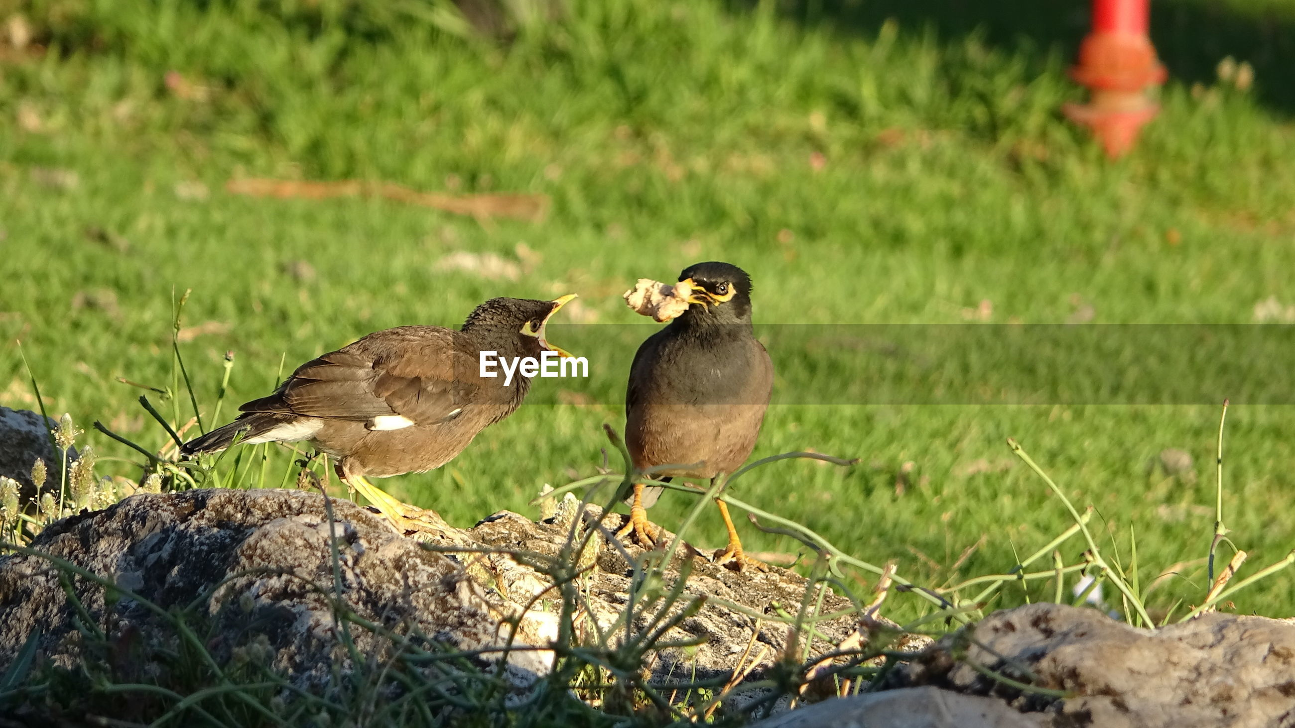 Myna bird feeding her flegling on the grass