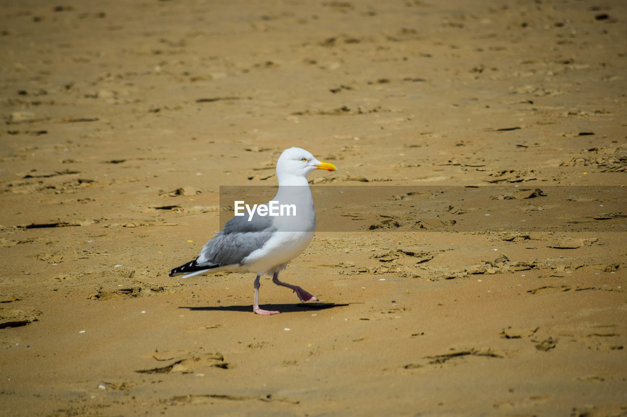 bird, animals in the wild, animal themes, one animal, beach, sand, nature, animal wildlife, seagull, no people, water, day, sea bird, outdoors, beauty in nature