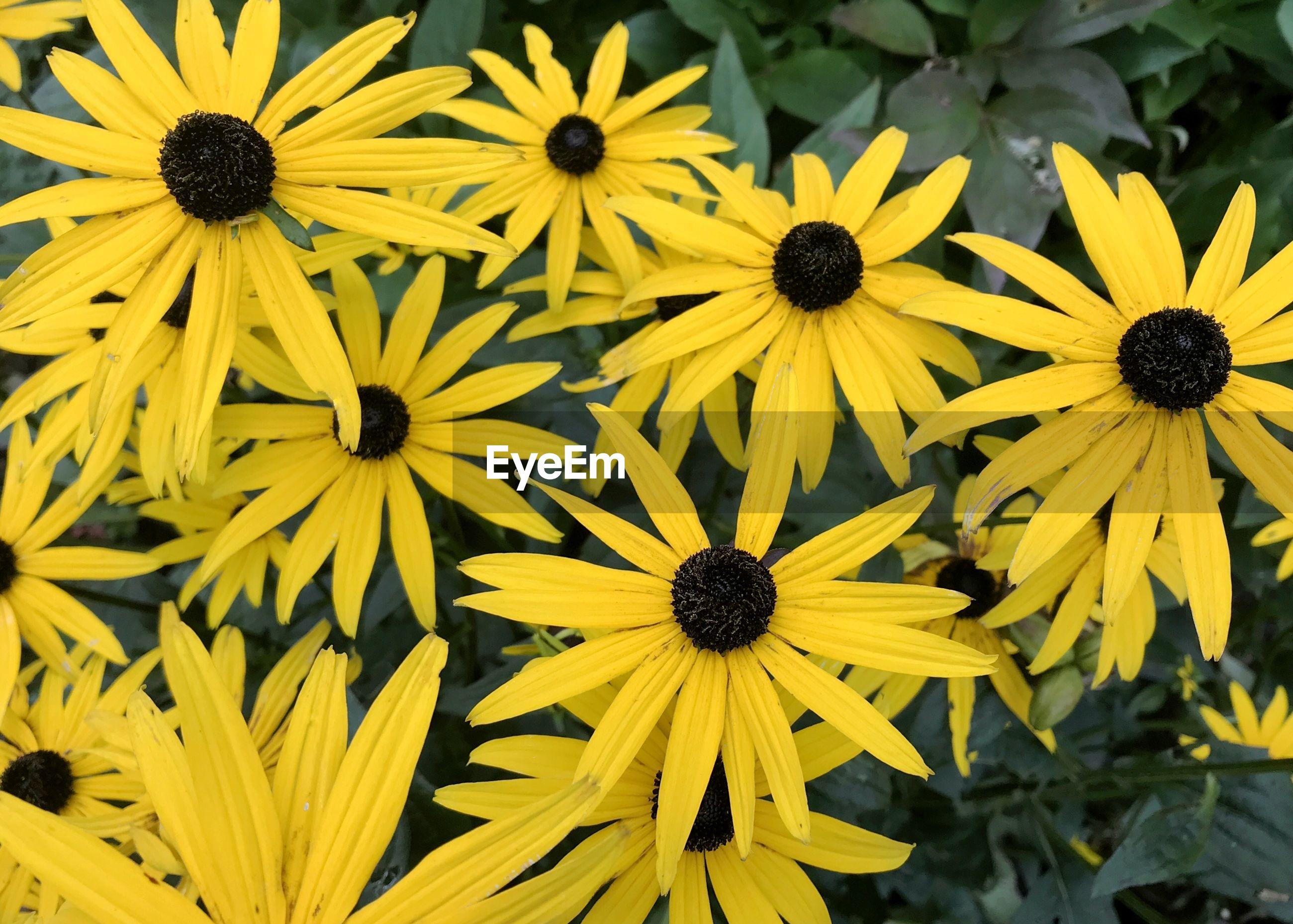 FULL FRAME SHOT OF YELLOW BLACK-EYED AND PURPLE DAISY