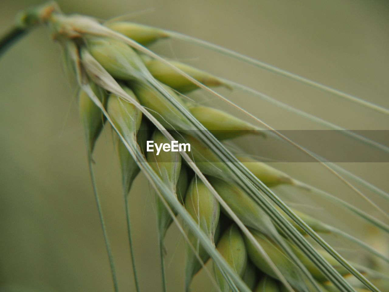 close-up, selective focus, green color, growth, plant, no people, focus on foreground, nature, day, crop, agriculture, cereal plant, rope, outdoors, grass, beauty in nature, wheat, tranquility, vulnerability, fragility