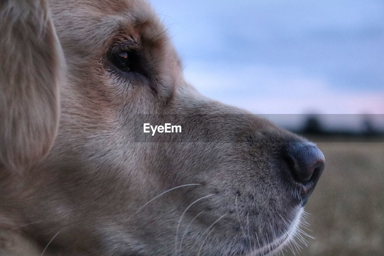 one animal, pets, domestic, animal themes, animal, domestic animals, mammal, canine, dog, animal body part, close-up, vertebrate, animal head, looking away, focus on foreground, looking, no people, day, side view, nature, profile view, animal nose, whisker, snout, animal eye, contemplation