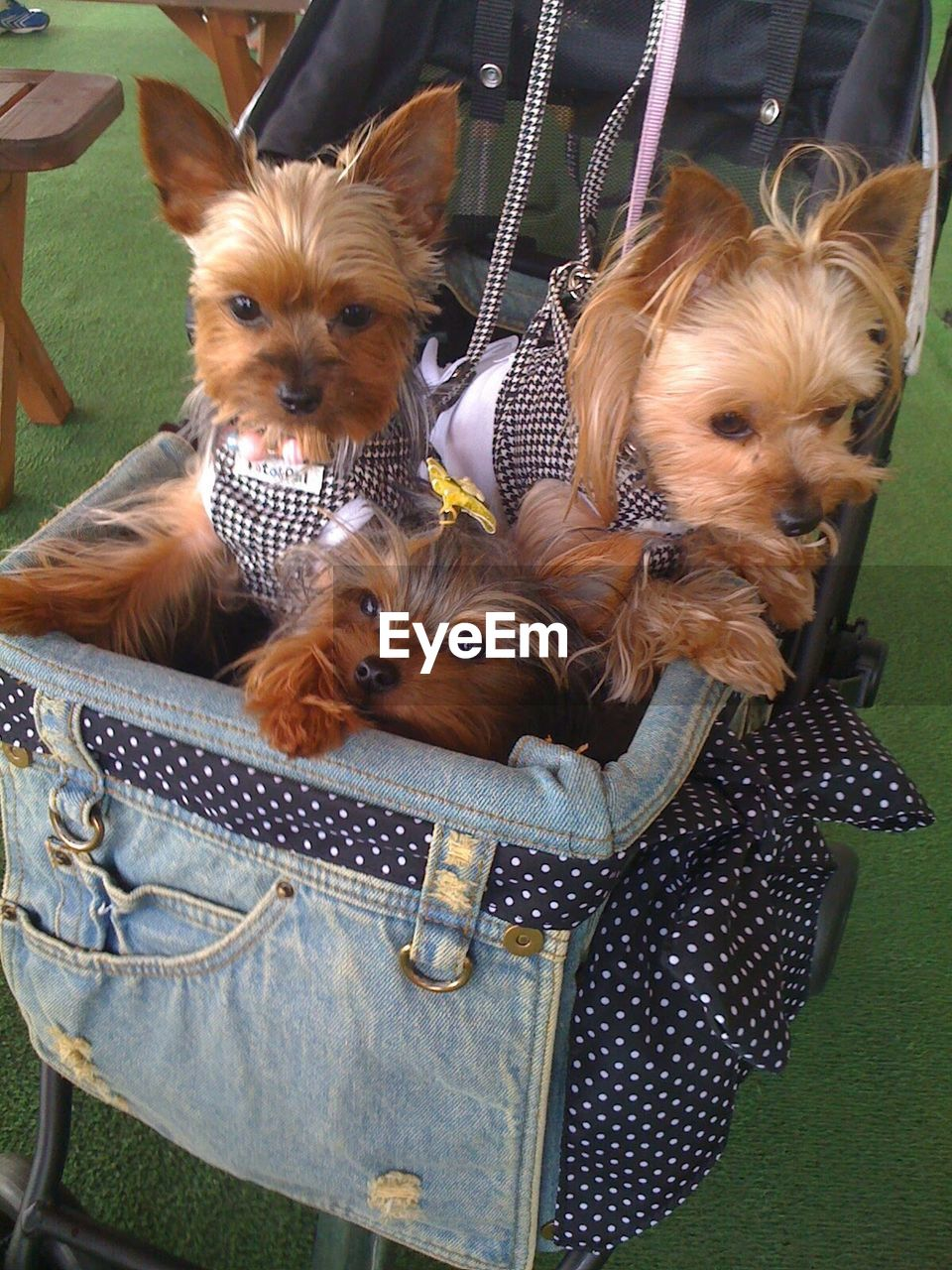 High angle view of hairy dogs sitting in pushing cart