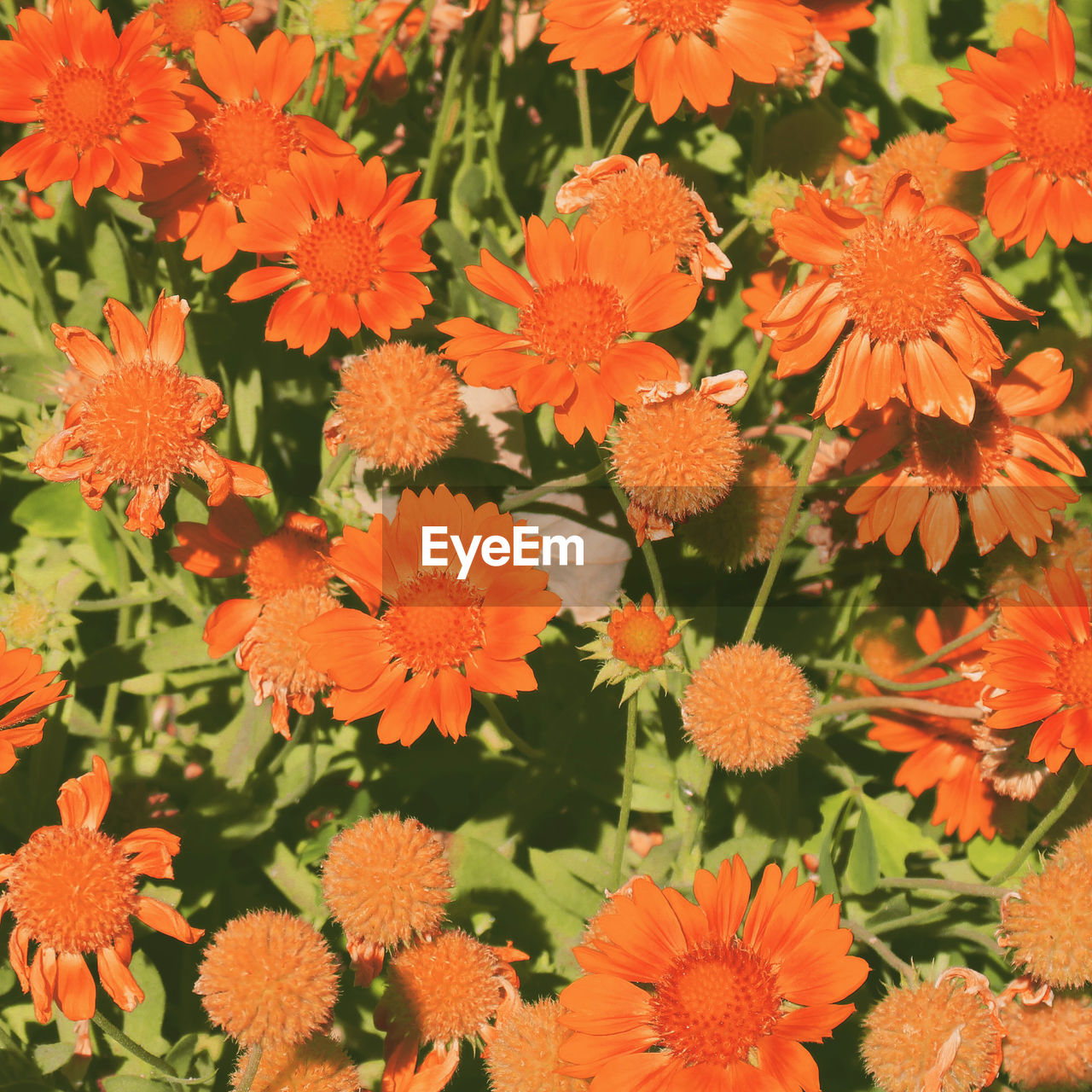 flower, orange color, beauty in nature, nature, growth, fragility, plant, no people, flower head, freshness, petal, outdoors, day, full frame, marigold, blooming, close-up